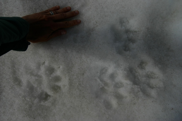 Gulo tracks in the Altai, 2010