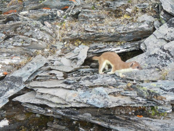 Ermine in the talus